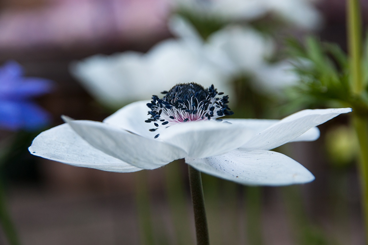 Images Bokeh White flower Anemones Closeup blurred background Flowers anemone