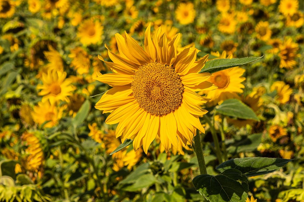 Bilder unscharfer Hintergrund Gelb Blumen Sonnenblumen Viel Bokeh Blüte