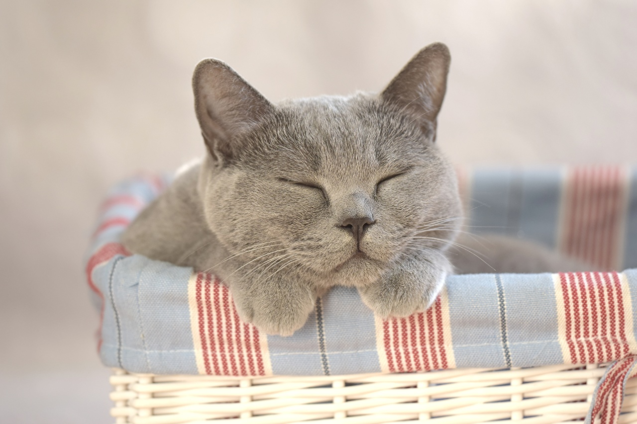 Gato Cinza animalia, um animal, gatos Animalia