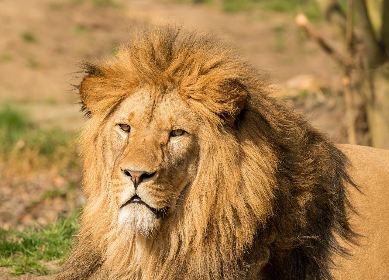 Bilder Löwen Kopf Blick ein Tier Großansicht Löwe Tiere Starren hautnah Nahaufnahme