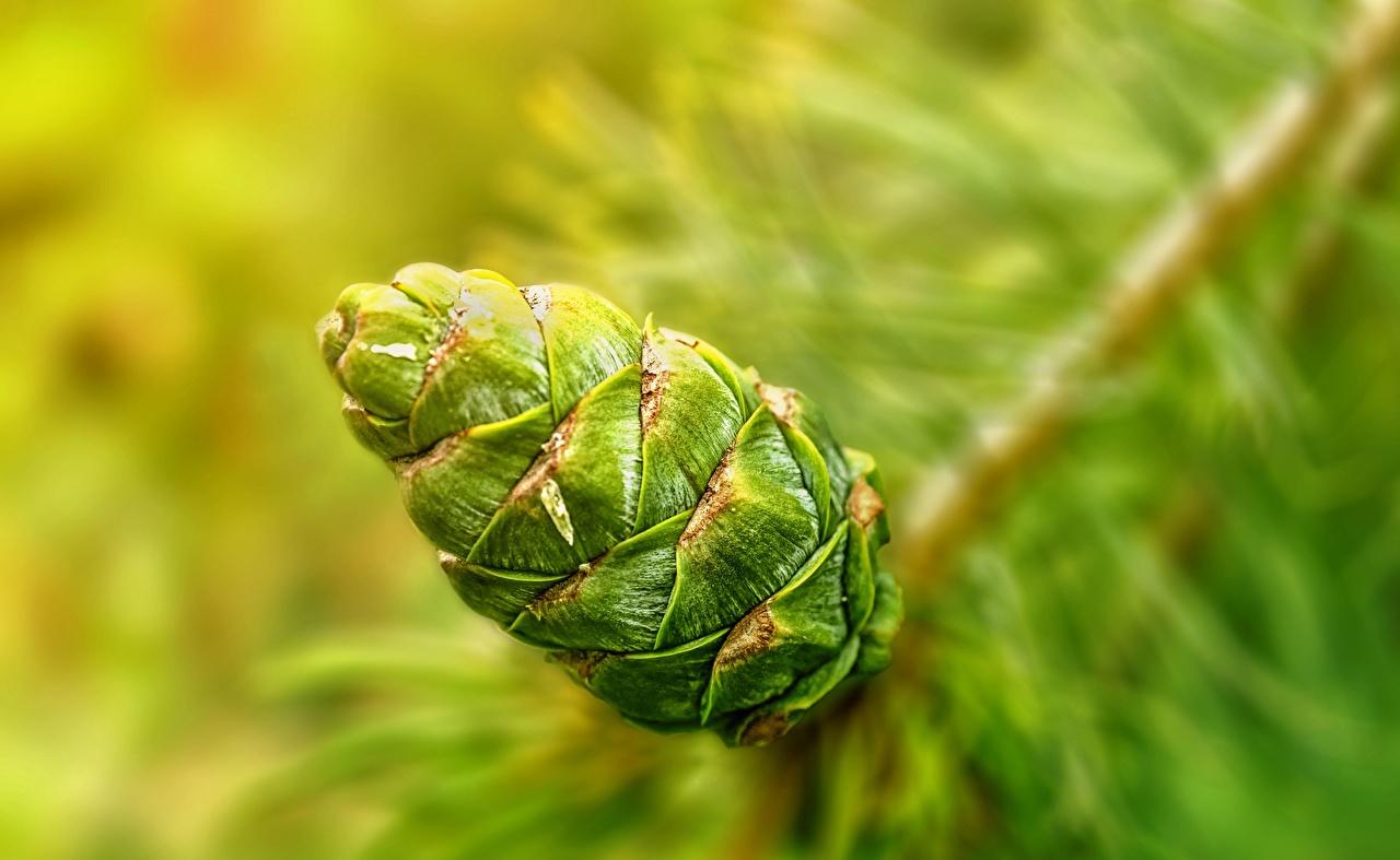 Picture Green Nature Pine cone Closeup Conifer cone
