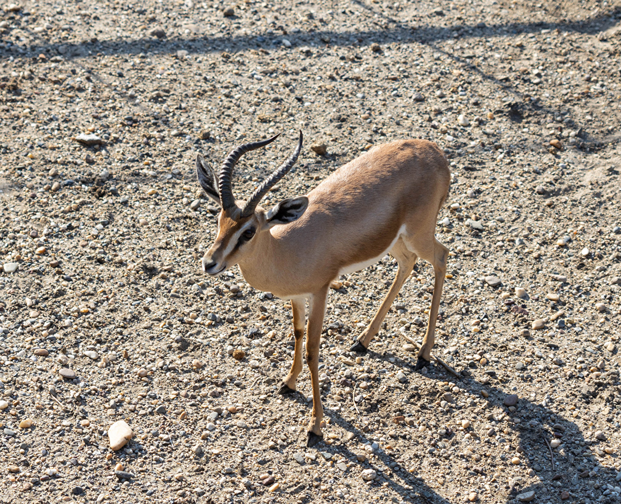 Photo Antelope Horns Animals animal