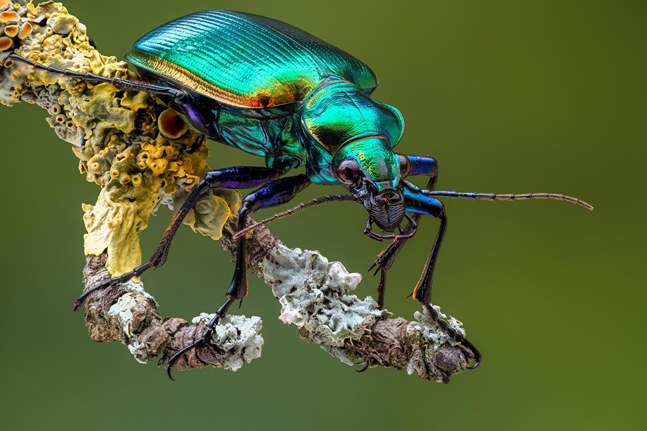 zdjęcia Owady Chrząszcze calosoma Z bliska Zwierzęta insekty zwierzę zbliżenie