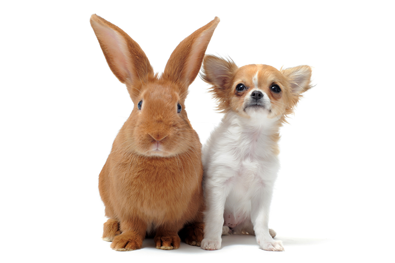 Image Chihuahua Dogs Rabbits Two animal Glance White background dog rabbit 2 Animals Staring