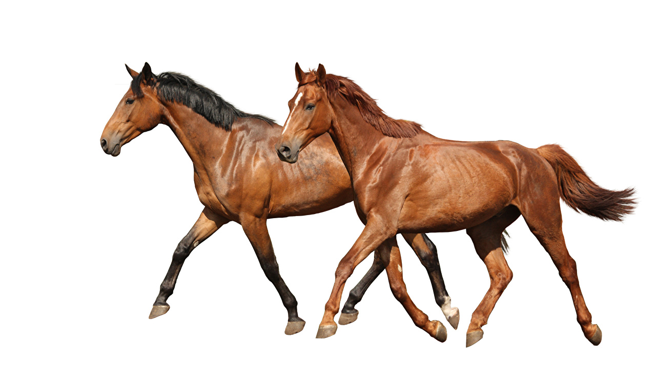 Picture Horses Running Two Brown Animals White background Run 2