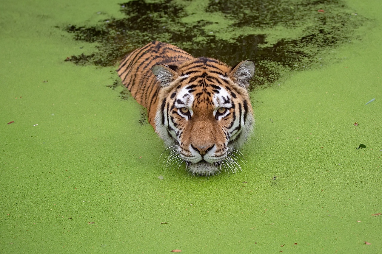 Desktop Hintergrundbilder Tiger schwimmende Sumpf Tiere Schwimmt schwimmen ein Tier
