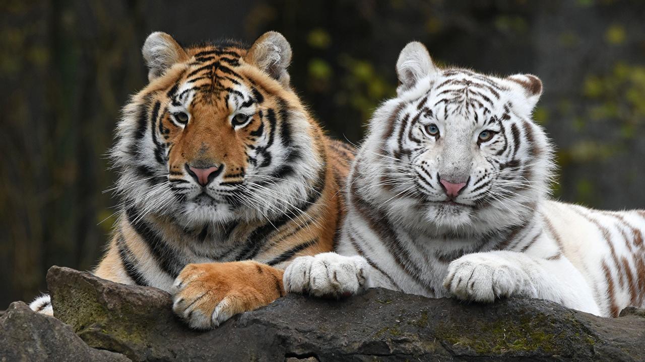 Image tiger Two White Paws Glance animal Tigers 2 Staring Animals