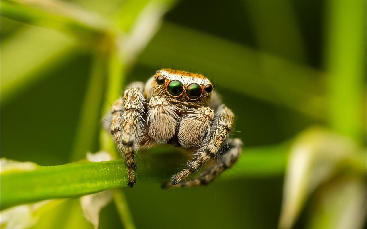 Desktop Hintergrundbilder Springspinnen Insekten Webspinnen ein Tier Nahaufnahme Tiere hautnah Großansicht