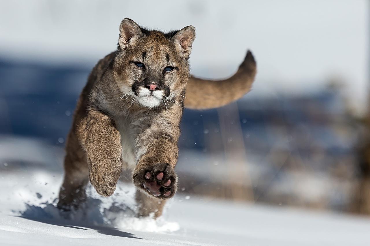 Achtergrond Poema Pantherinae rennen Sneeuw Dieren bergleeuw lopen rennende Hardlopen een dier