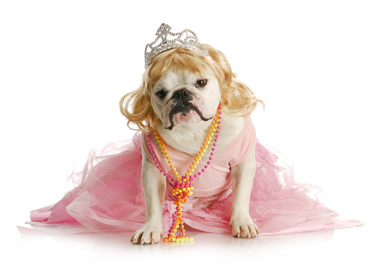 Desktop Wallpapers Bulldog dog Crown Funny animal White background gown Jewelry Dogs Animals frock Dress