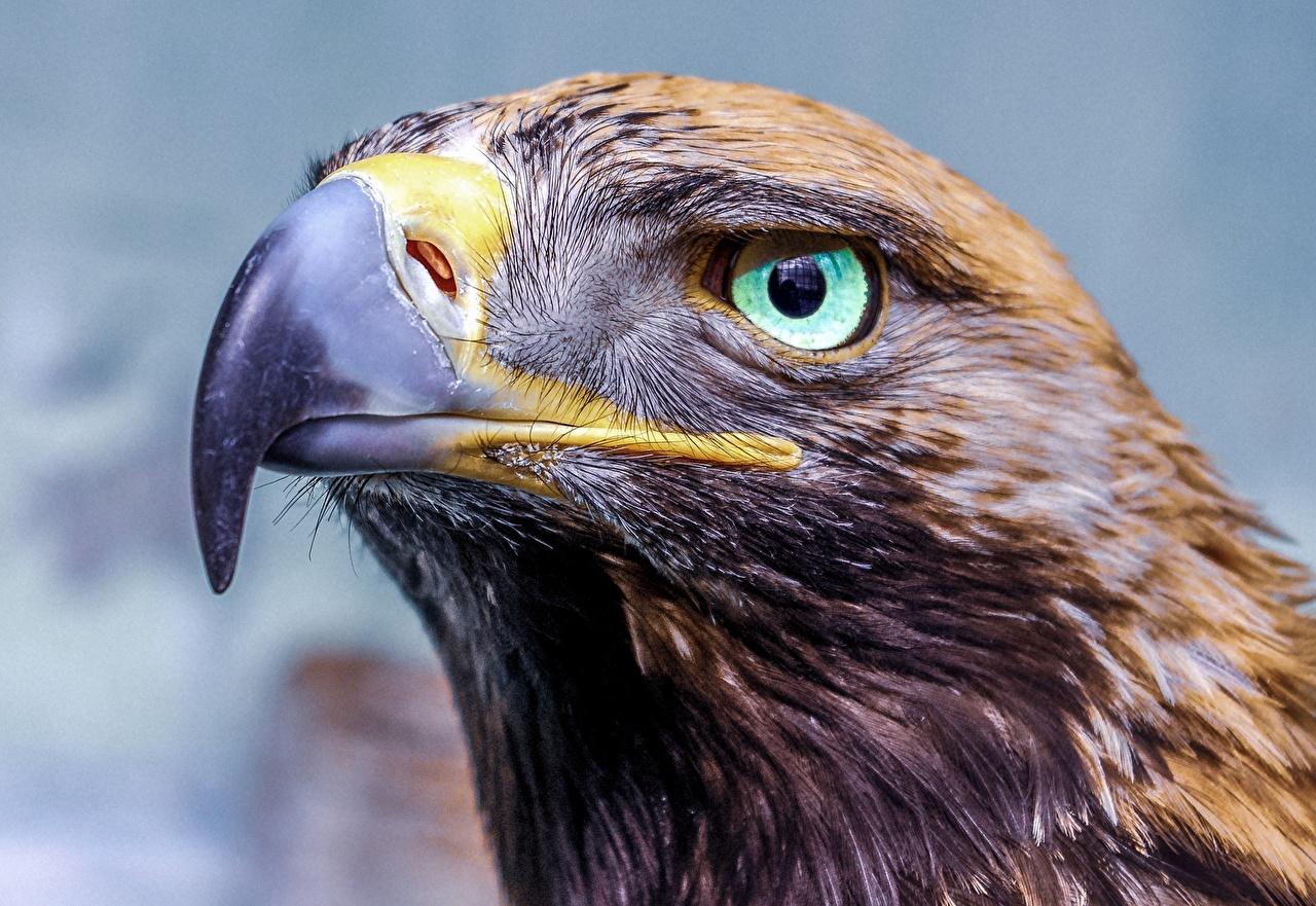 Wallpaper eagle Eyes Beak Head animal Glance Closeup Eagles Animals Staring