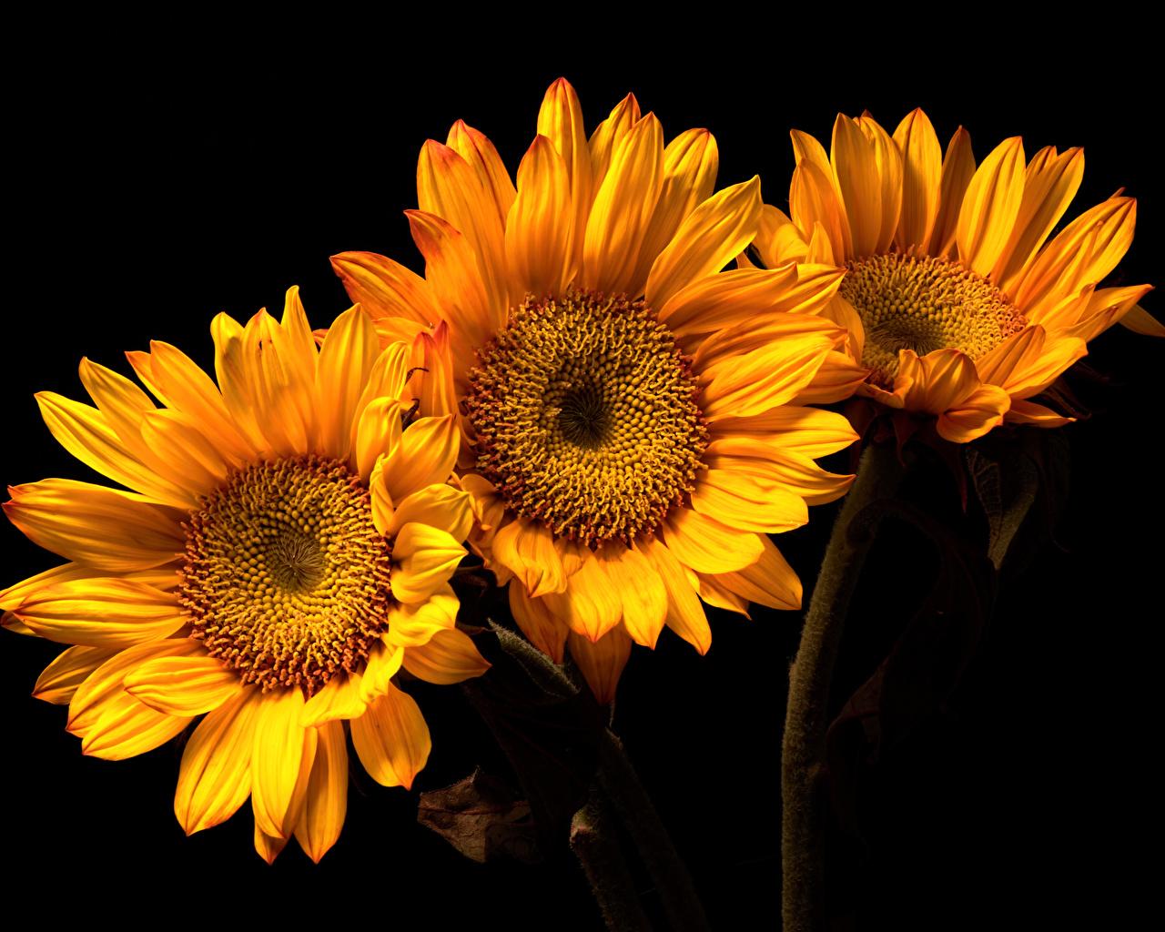 Wallpaper Flowers Sunflowers Three 3 Closeup Black background flower Helianthus