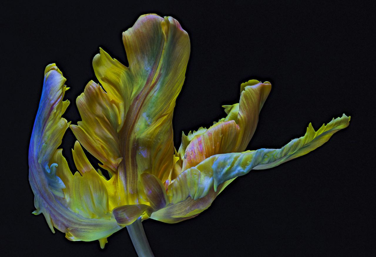 Images Parrot Tulip tulip flower Closeup Black background Tulips Flowers