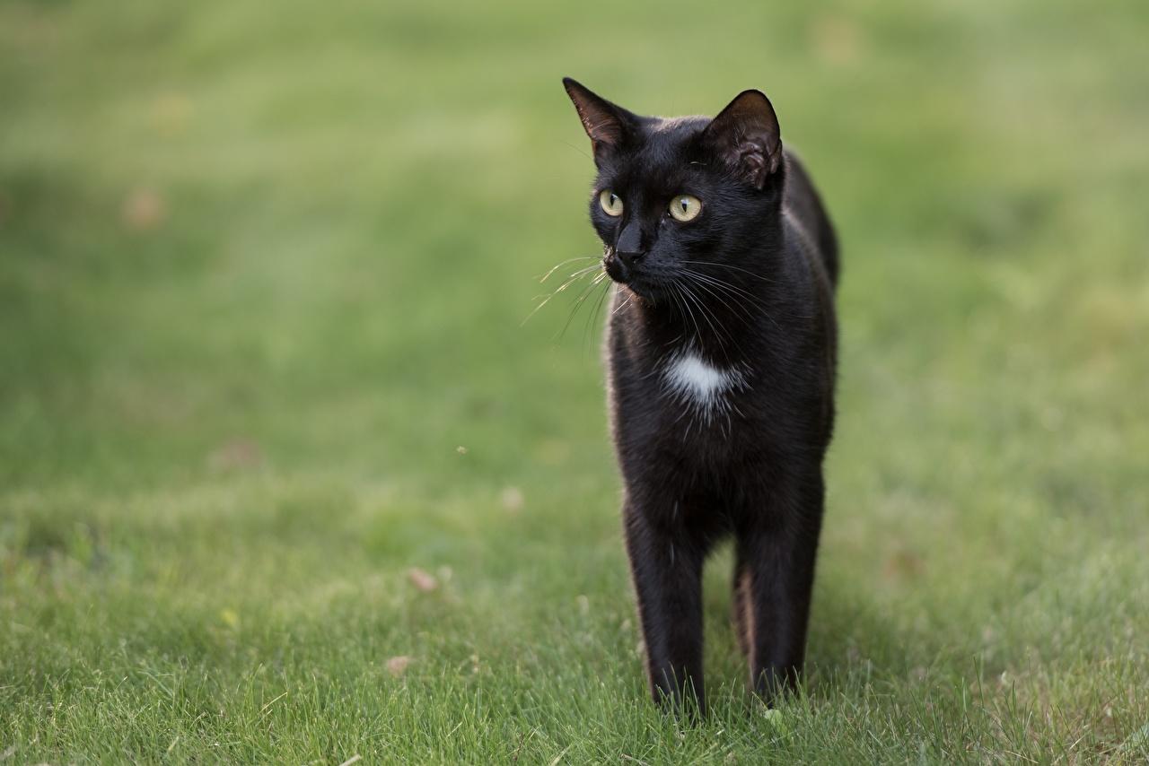 Bilder von Hauskatze unscharfer Hintergrund Schwarz Gras Blick ein Tier Katze Katzen Bokeh Tiere Starren