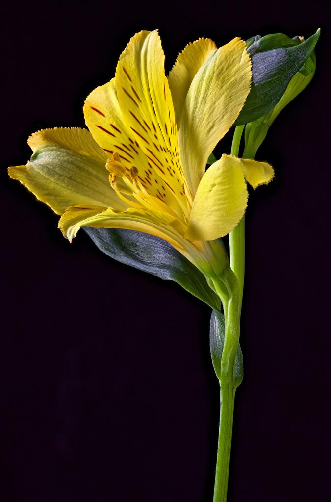 Alstroemeria En gros plan Fond noir Jaune fleur Fleurs pour Téléphone mobile