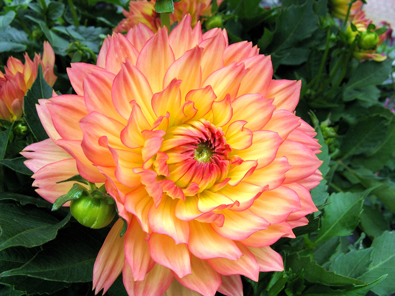 Picture Dahlias Flowers Closeup flower