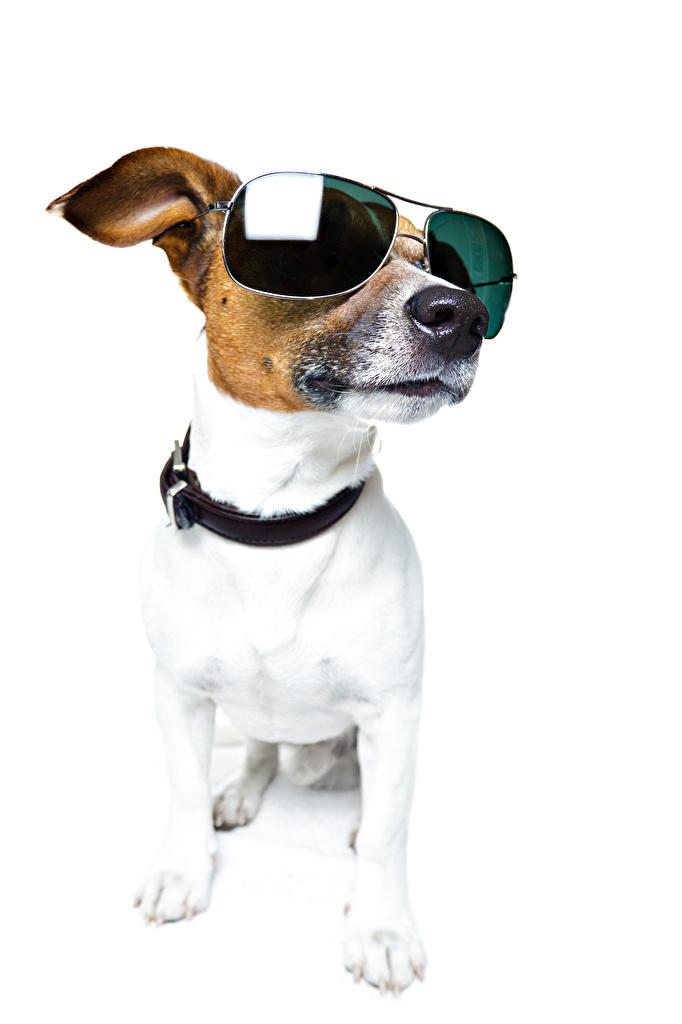 Image Jack Russell terrier dog eyeglasses Animals White background  for Mobile phone Dogs Glasses animal
