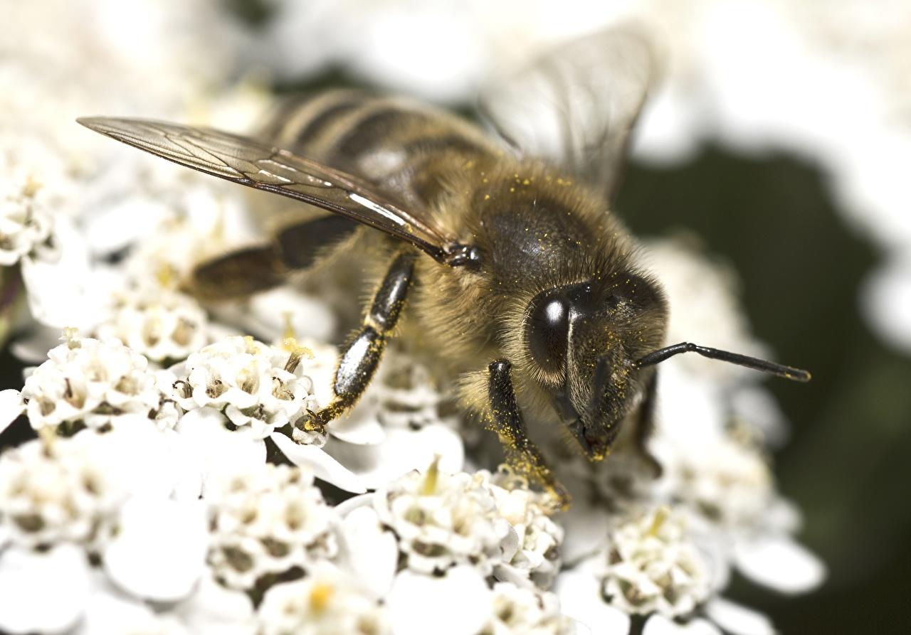 Fotos von Bienen hautnah ein Tier Tiere Nahaufnahme Großansicht
