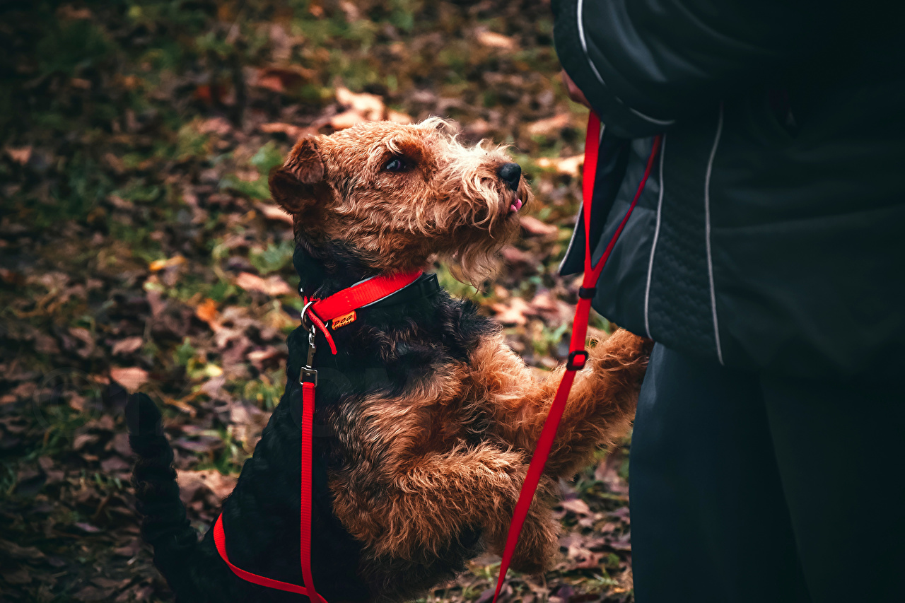 Photo Airedale Terrier Dogs Welsh Terrier Animals dog animal
