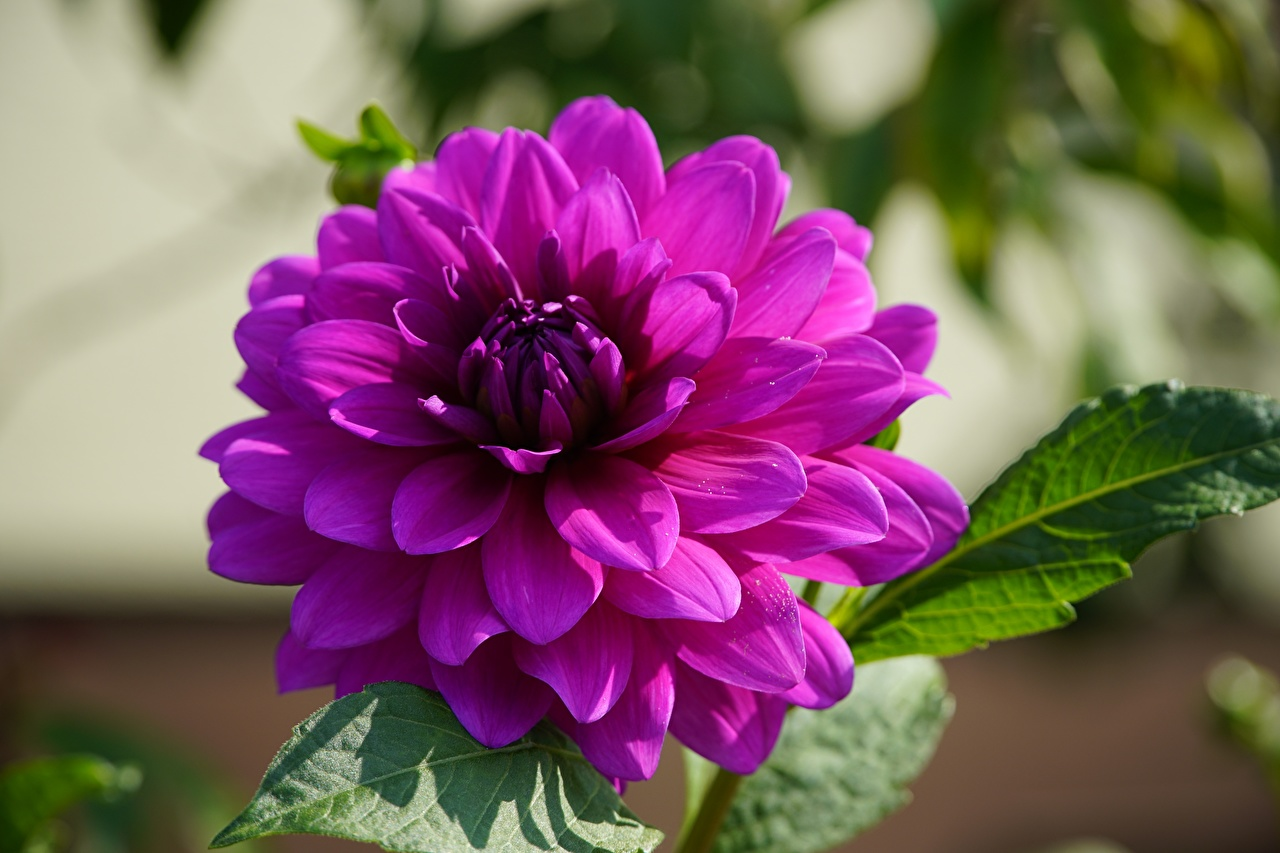 Picture Bokeh Violet Dahlias Flowers Closeup blurred background flower