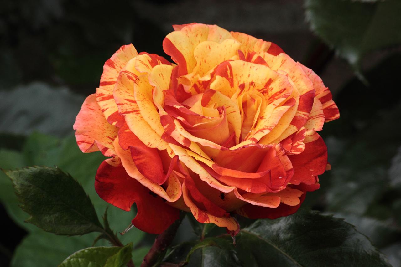 Fotos von Rose Blüte hautnah Rosen Blumen Nahaufnahme Großansicht