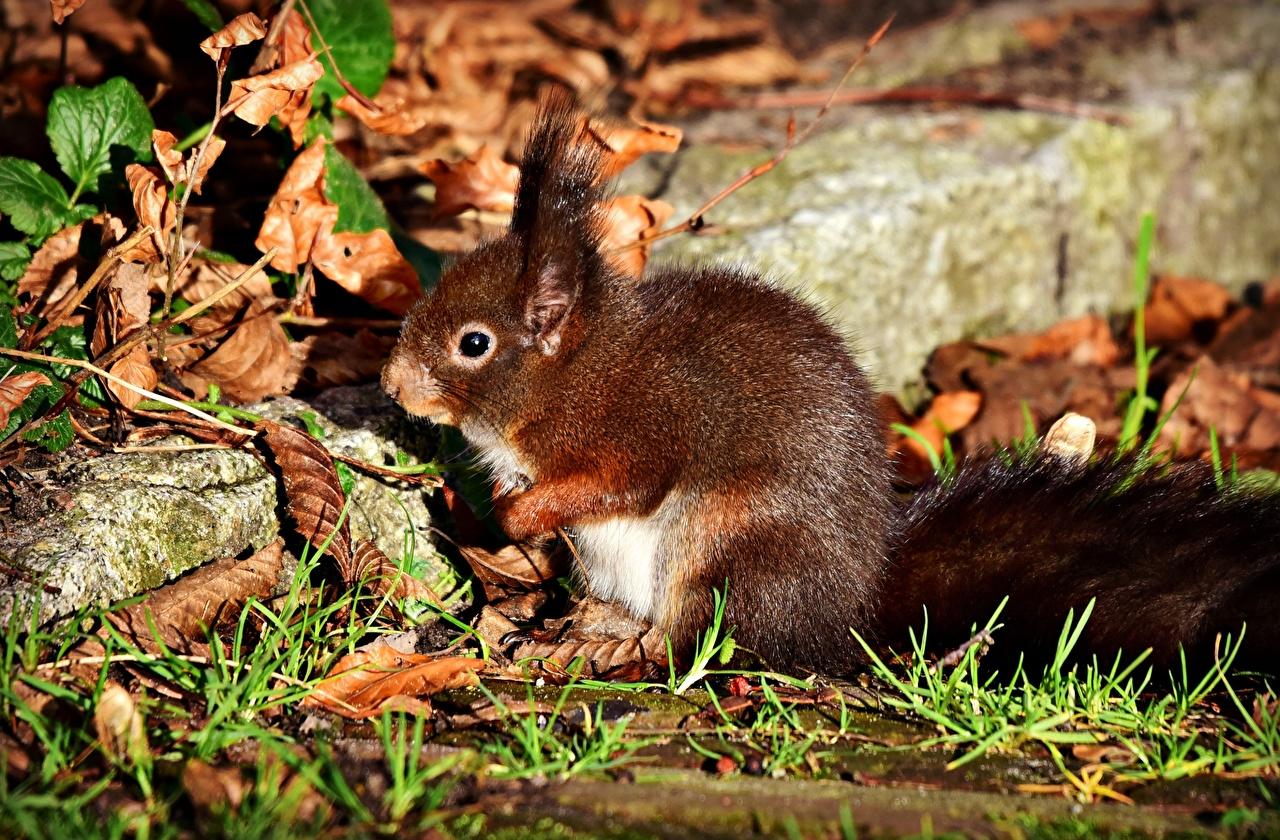 Hintergrundbilder Eichhörnchen Herbst Tiere Hörnchen