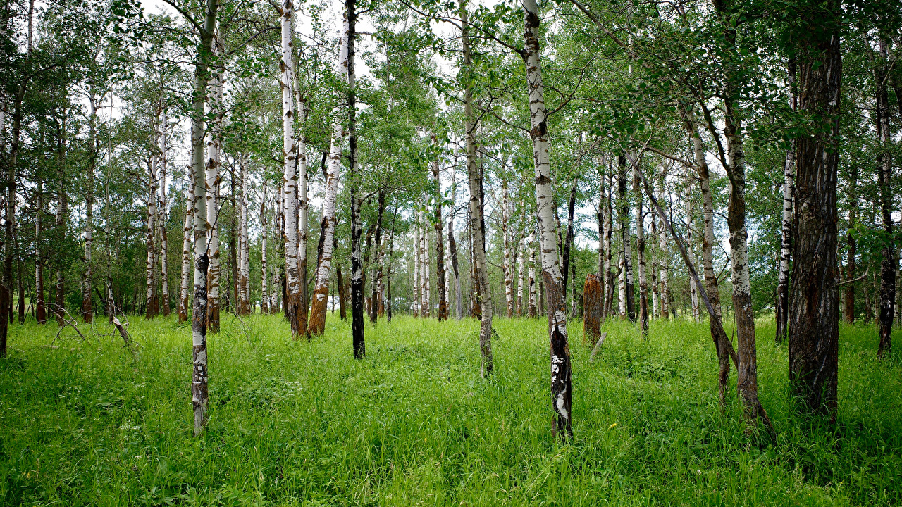 Desktop Wallpapers Birch Nature forest Grass Trees Forests
