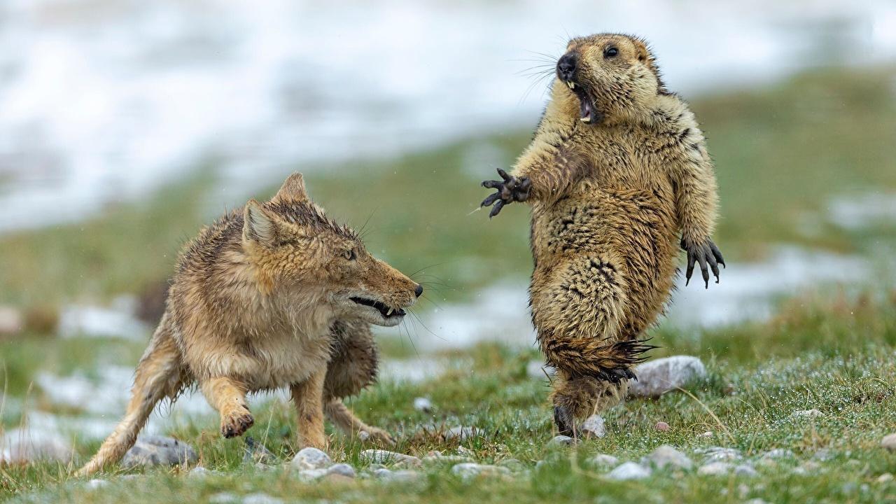 Tapeta Lisy świstak przestraszyć śmieszna zwierzę