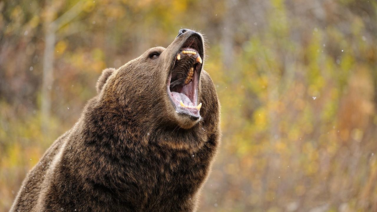 、クマ、ヒグマ、咆哮、動物、