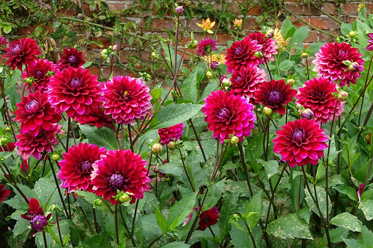 Desktop Wallpapers burgundy Dahlias Flowers Closeup maroon dark red Wine color flower