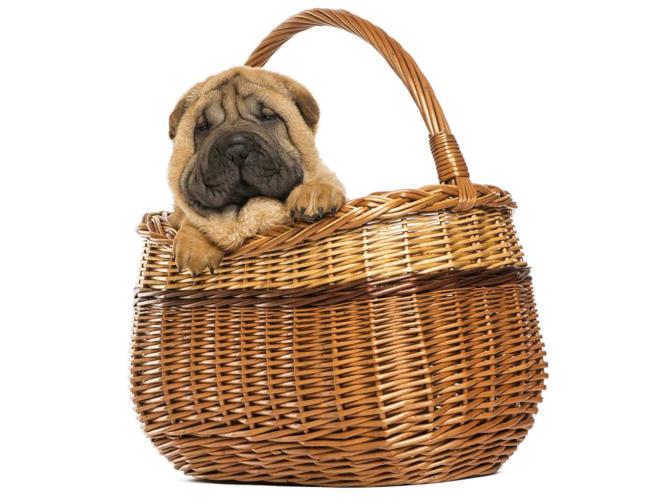 Pictures Shar Pei Dogs Wicker basket animal dog Animals