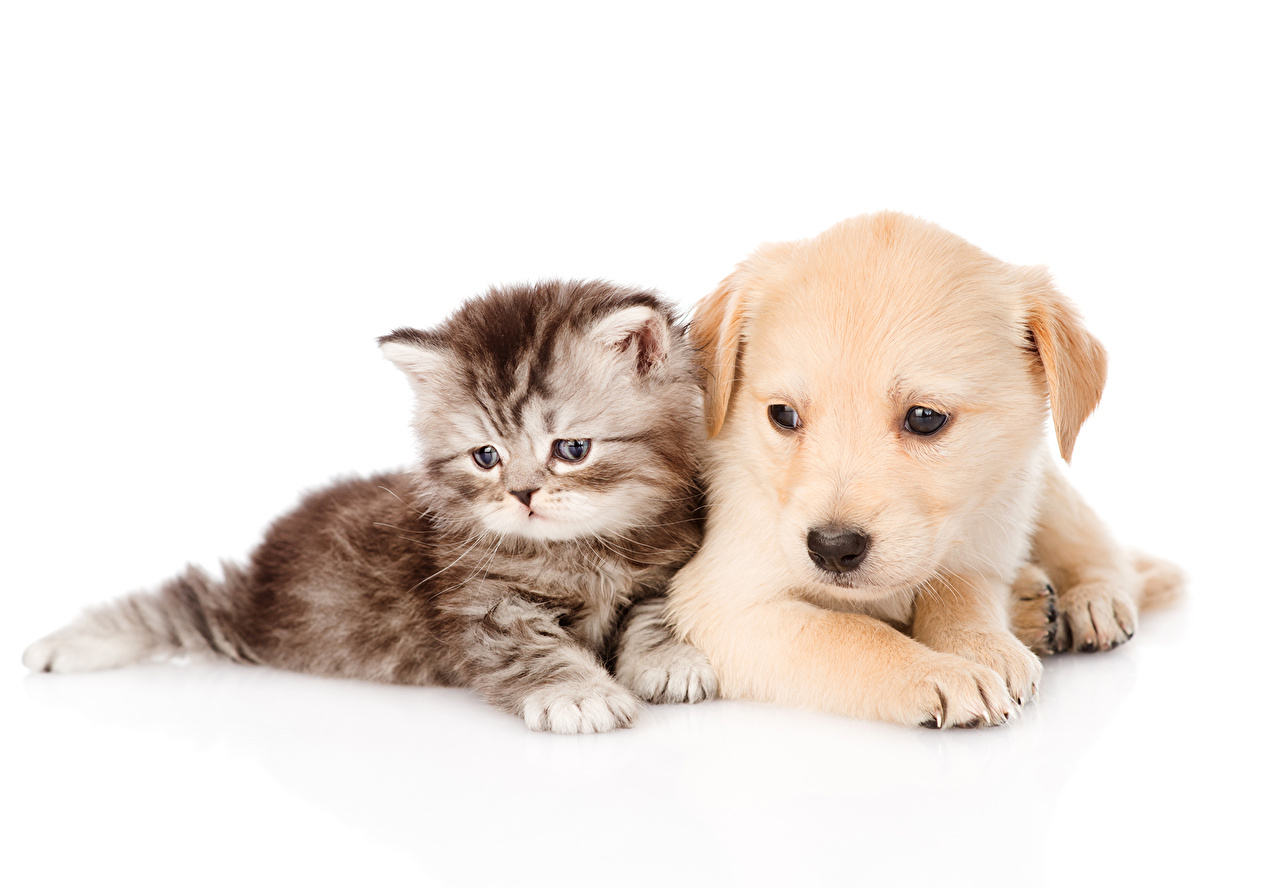 Images Puppy kitty cat Retriever dog Cats animal puppies Kittens cat Dogs Animals