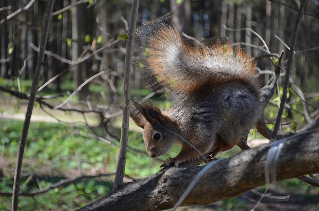 Images Squirrels Tail Branches animal Closeup Animals