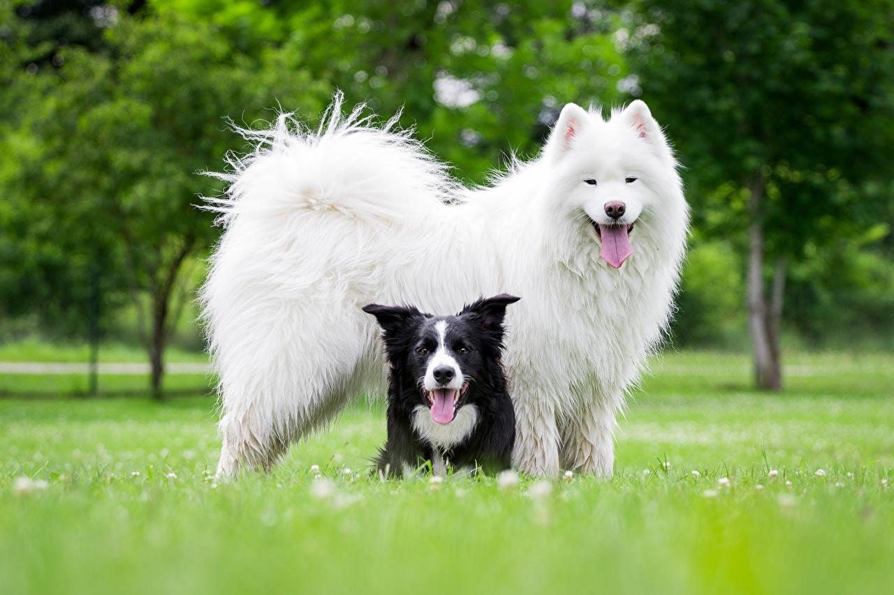 Фотографии Бордер-колли Самоедская собака Собаки животное собака Животные