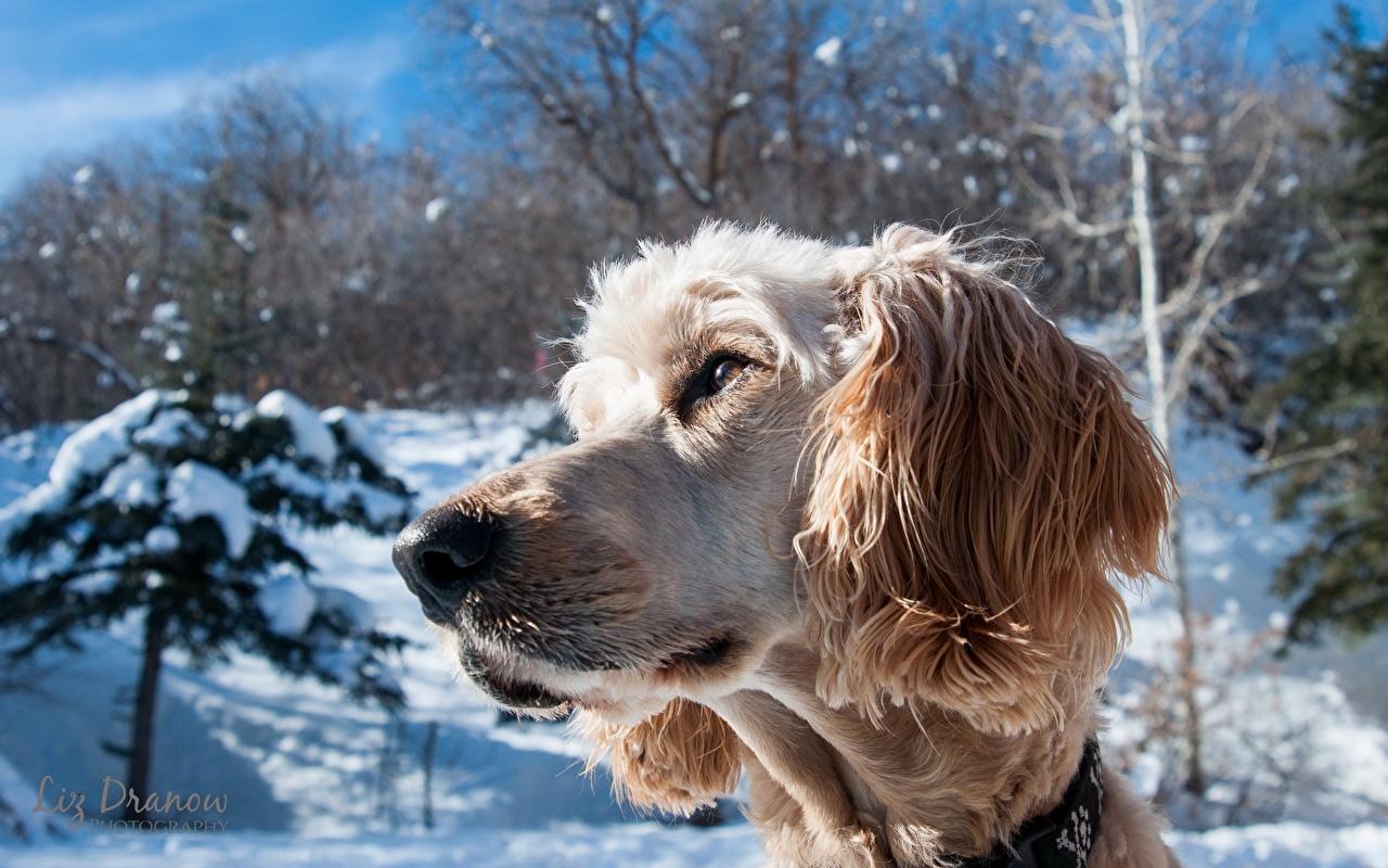 Photos Dogs Nivernaise Griffon Snow Snout animal dog Animals