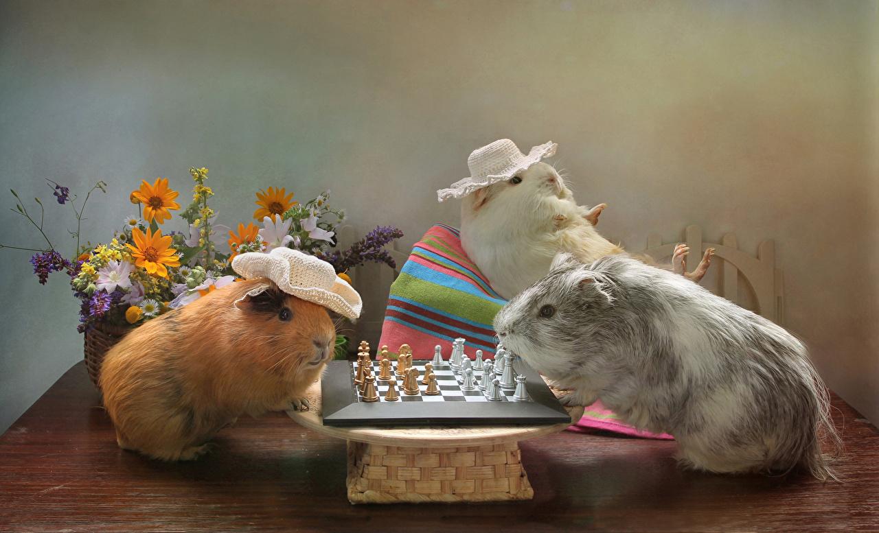 Hintergrundbilder Hausmeerschweinchen Schach Der Hut Drei 3 Tiere