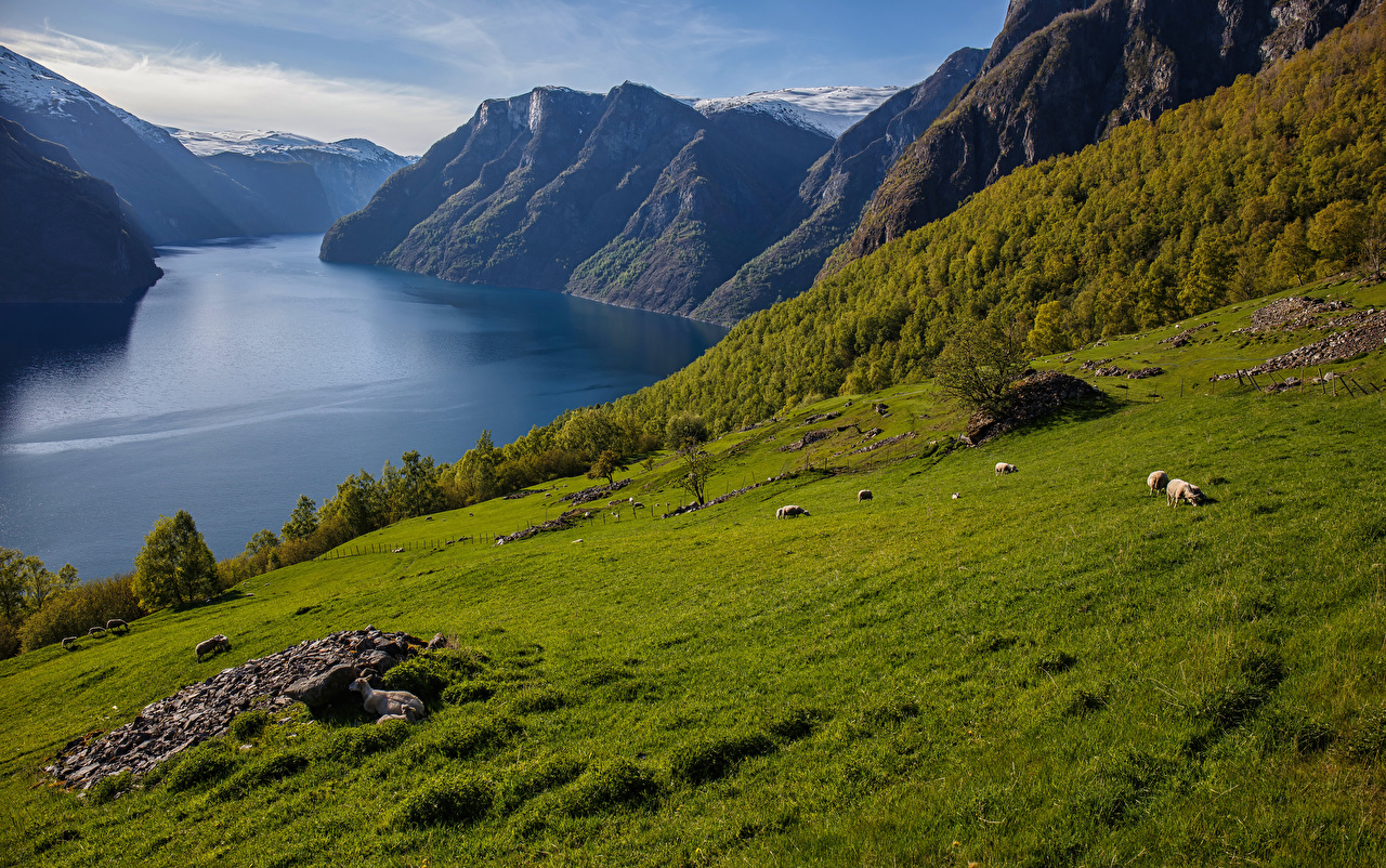 Photo Sheep Norway Sogn og Fjordane Fjord Nature Mountains mountain