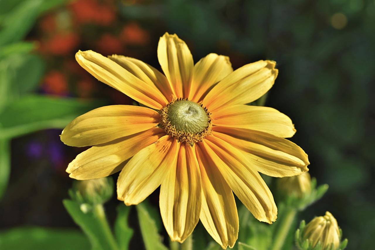 Fotos von unscharfer Hintergrund Gelb Blüte Nahaufnahme Bokeh Blumen hautnah Großansicht