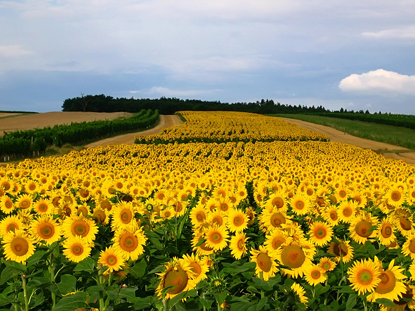 Pictures Fields Flowers Sunflowers Many flower Helianthus