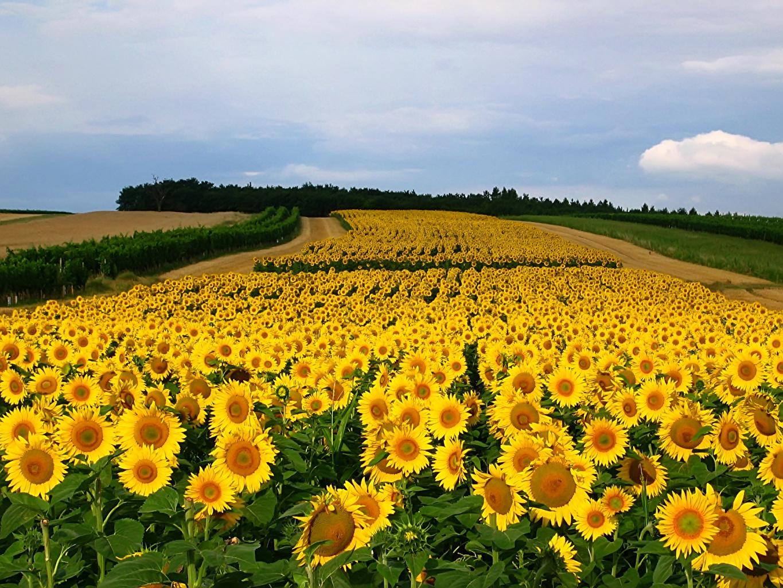 ,田地,向日葵,很多,,花卉,