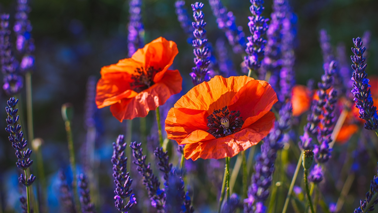 Pictures Bokeh flower papaver blurred background Flowers Poppies