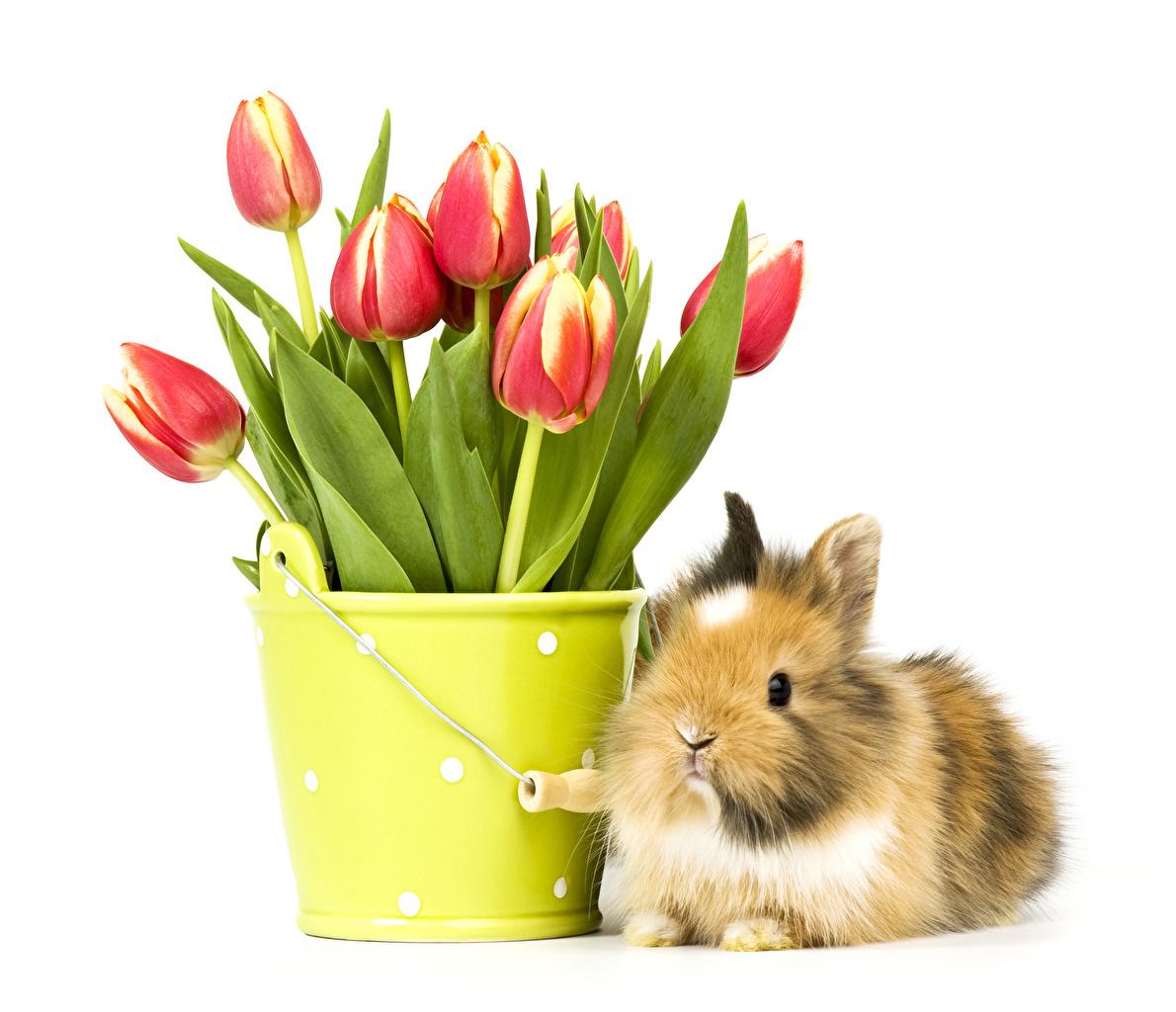 Pictures rabbit Tulips Bucket flower Animals White background Rabbits tulip Flowers animal