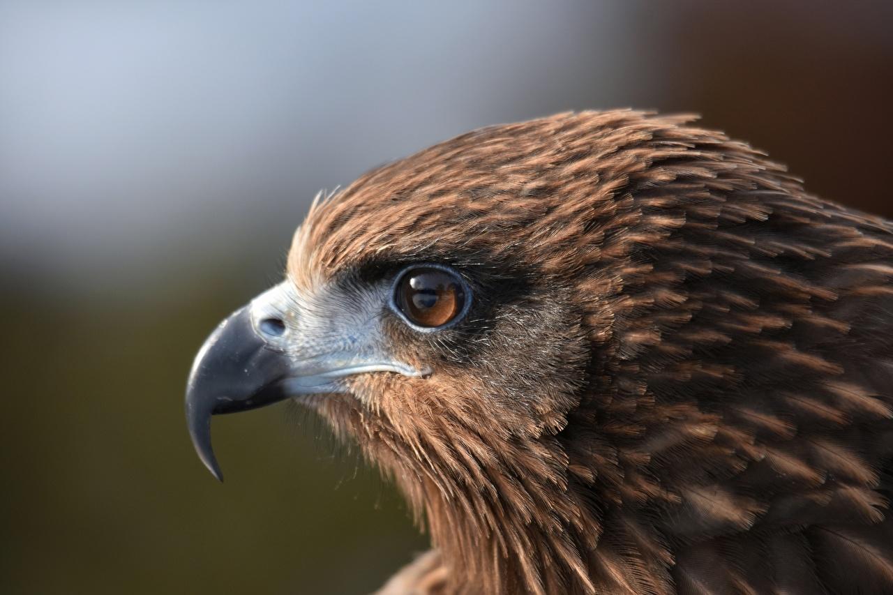 Foto Vögel Black kite Schnabel Kopf Starren ein Tier Vogel Tiere Blick