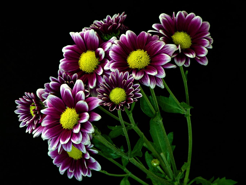 Fotos von Blumen Chrysanthemen Nahaufnahme Schwarzer Hintergrund Blüte hautnah Großansicht