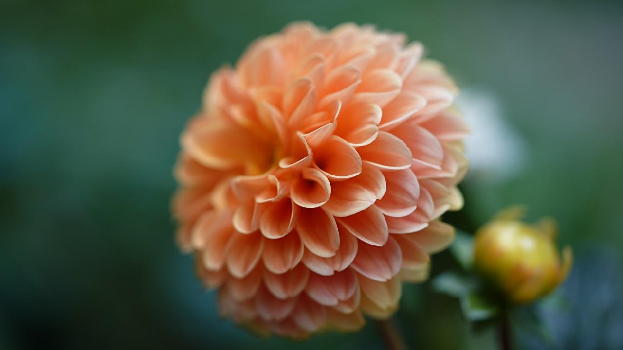 Image Bokeh flower Dahlias Closeup blurred background Flowers