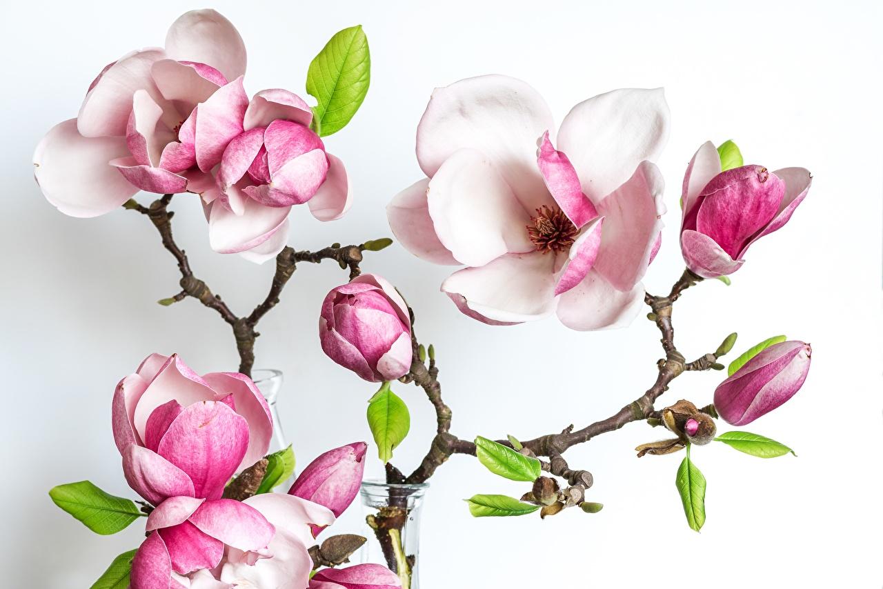 Bilder von Blüte Magnolien Ast Weißer hintergrund Blumen