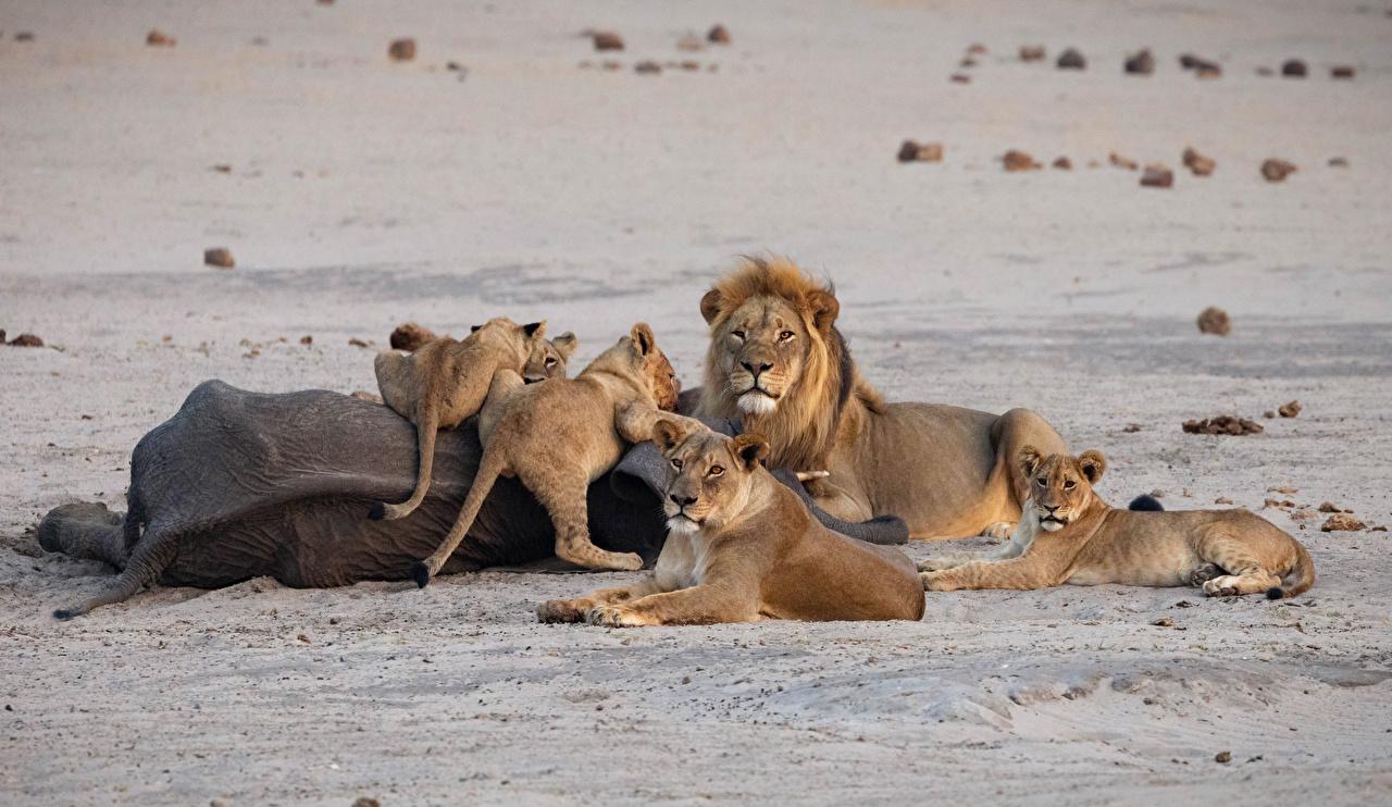 Desktop Hintergrundbilder Löwen Jungtiere Sand ein Tier Löwe babys Tiere