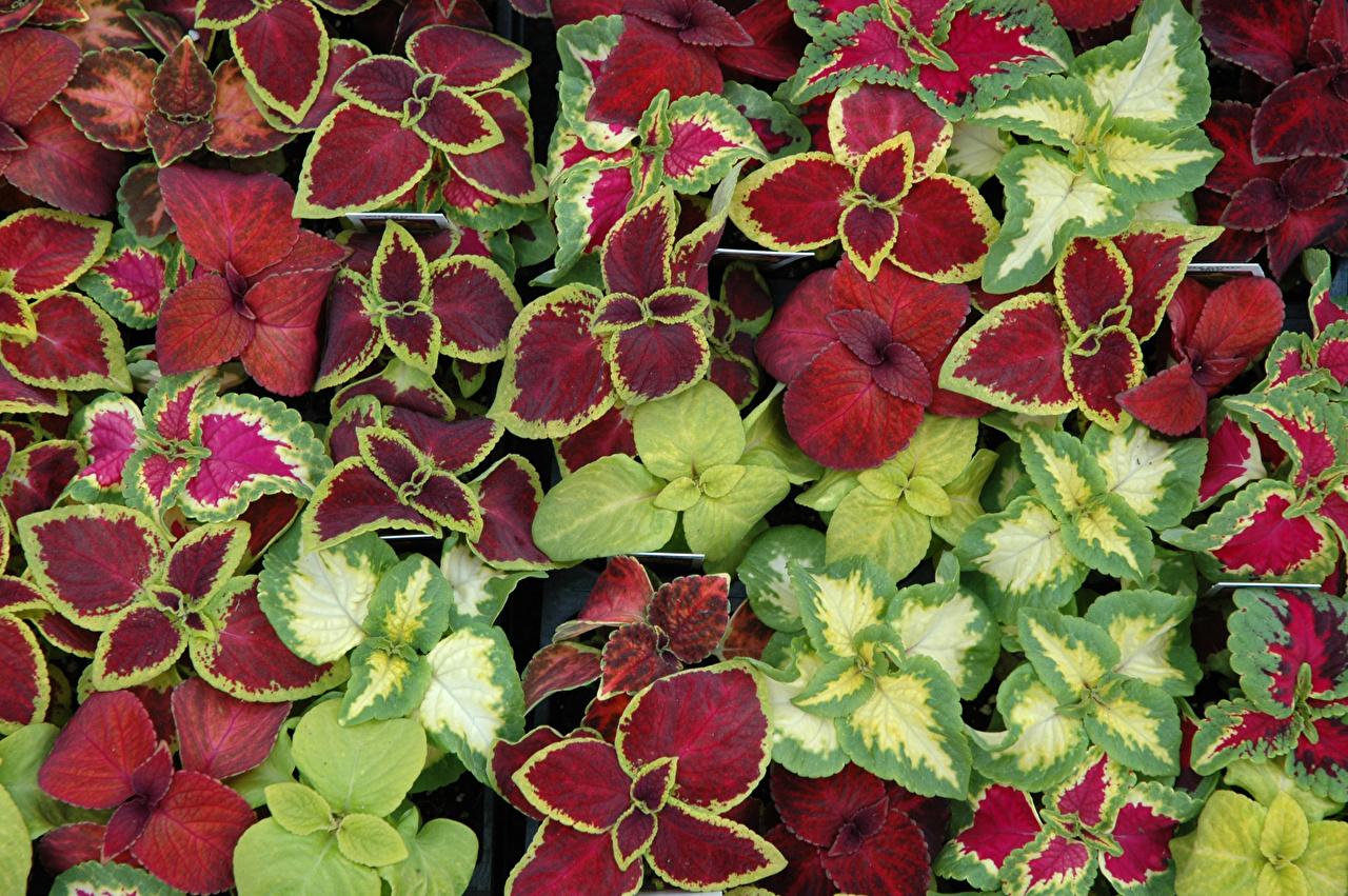 Foto Blattwerk Mehrfarbige Blüte Buntnesseln Blatt Bunte Blumen