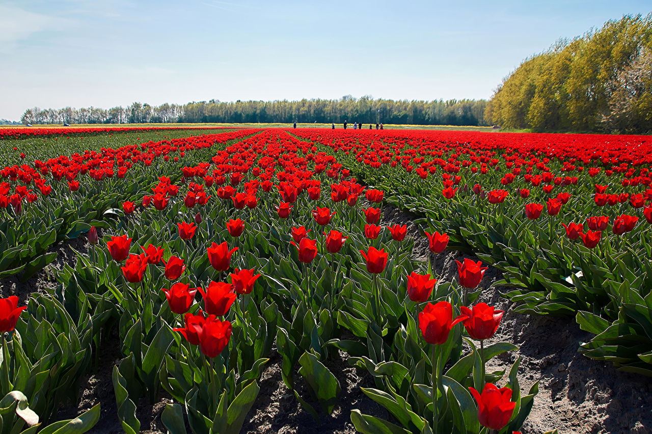 Picture Red Tulips Fields Flowers tulip flower