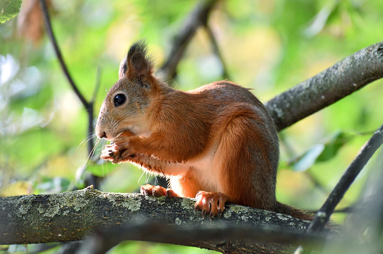 Fotos von Hörnchen unscharfer Hintergrund Ast ein Tier Nussfrüchte Eichhörnchen Bokeh Tiere Schalenobst